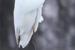 Silberreiher (1)